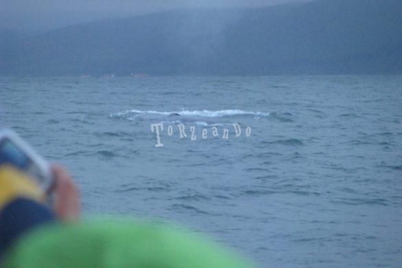 Balenottere azzurre in Islanda