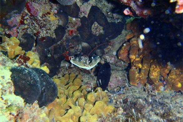 Un bell'astice nella sua tana nel mare di Sistiana