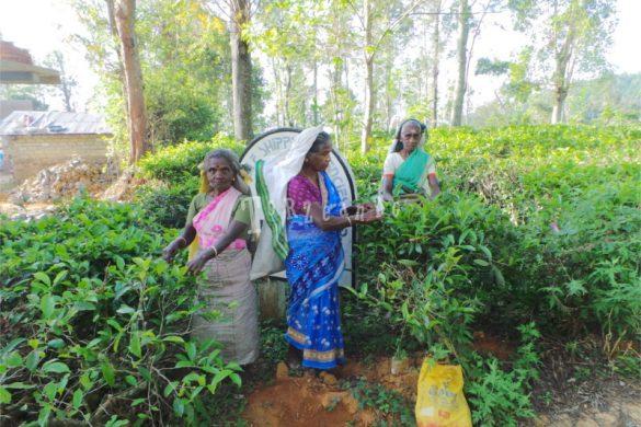 Raccoglitrici nella piantagione di tè in Sri Lanka