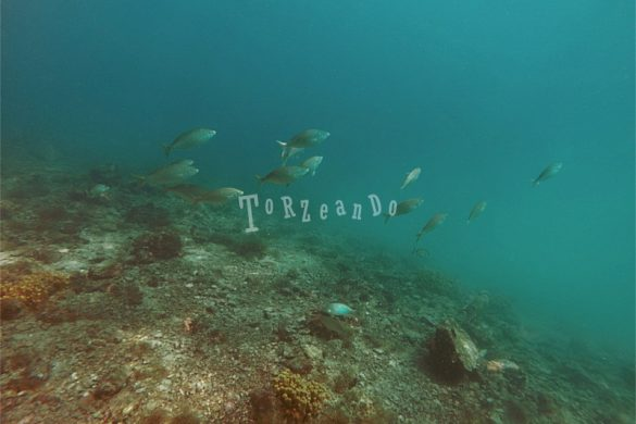 Salpe girovaghe nel mare di Sistiana