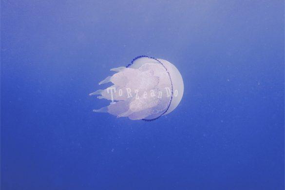 Medusa rhizostoma pulmo nel mare di Sistiana