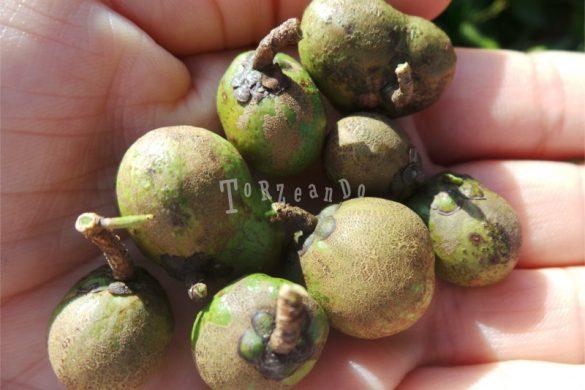 Una manciata di semi della pianta del tè in Sri Lanka
