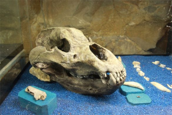 Cranio di orso delle caverne a San Giovanni d'Antro