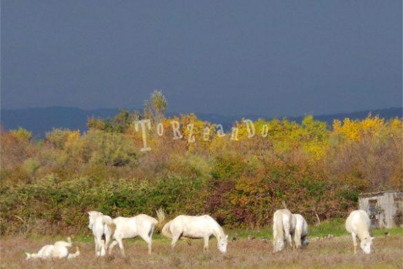 Cavalli Camargue all'Isola della Cona