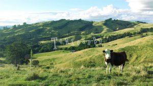 Pascoli a Bryher, Nuova Zelanda dove ho ottenuto il visto di lavoro
