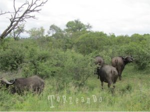 bufali al Parco Kruger in Sud Africa
