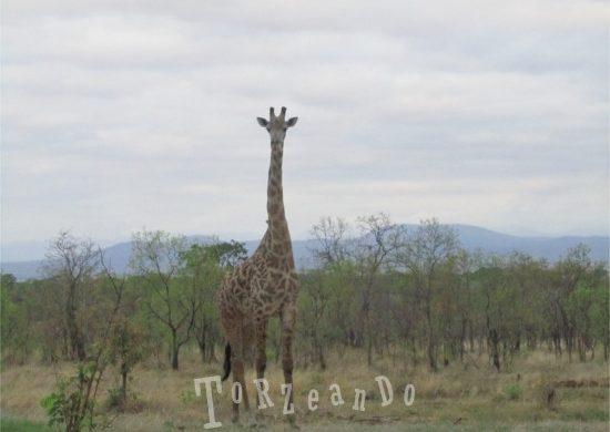 giraffa al Parco Kruger in Sud Africa