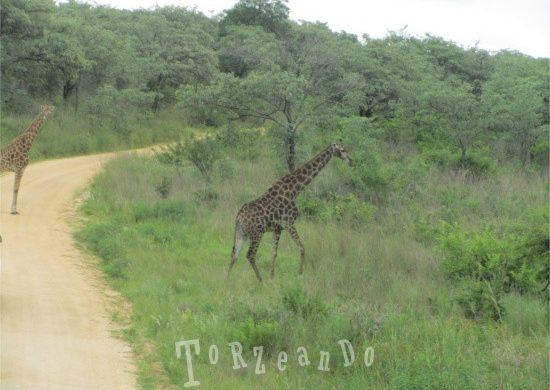 giraffe al Parco Kruger in Sud Africa