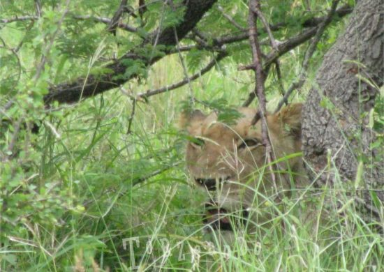 leonessa al Parco Kruger in Sud Africa