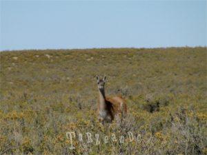 guanaco della Patagonia