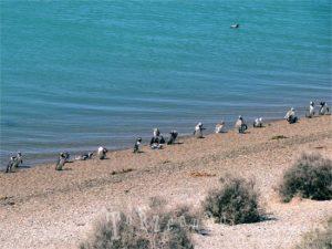 Pinguini della penisola Valdes in Patagonia
