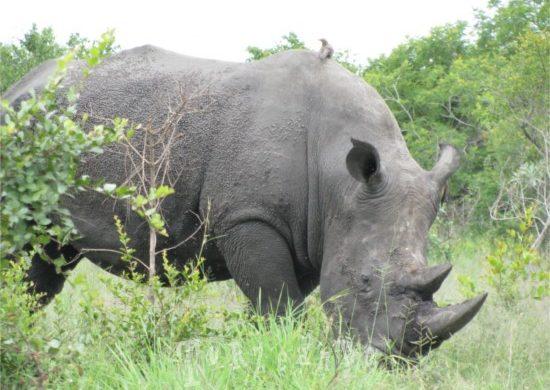 rinoceronte al Parco Kruger in Sud Africa
