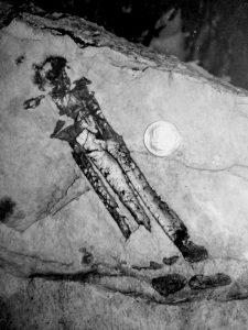 fossile di un arto del dinosauro Antonio