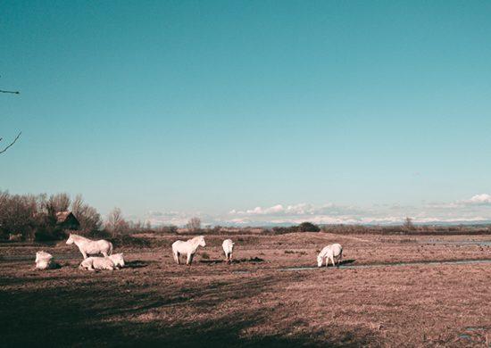 Cavalli della Camargue nella foce dell'Isonzo